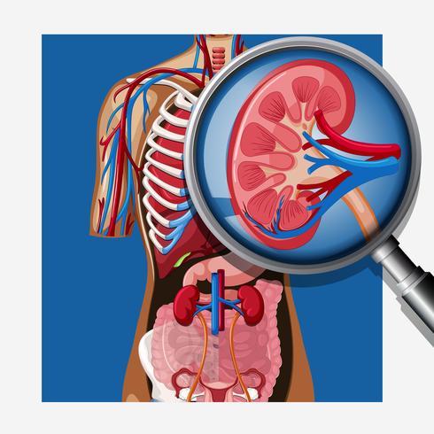 Une anatomie humaine du rein