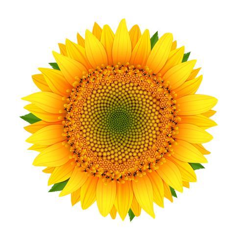 Sunflower isolated on white vector