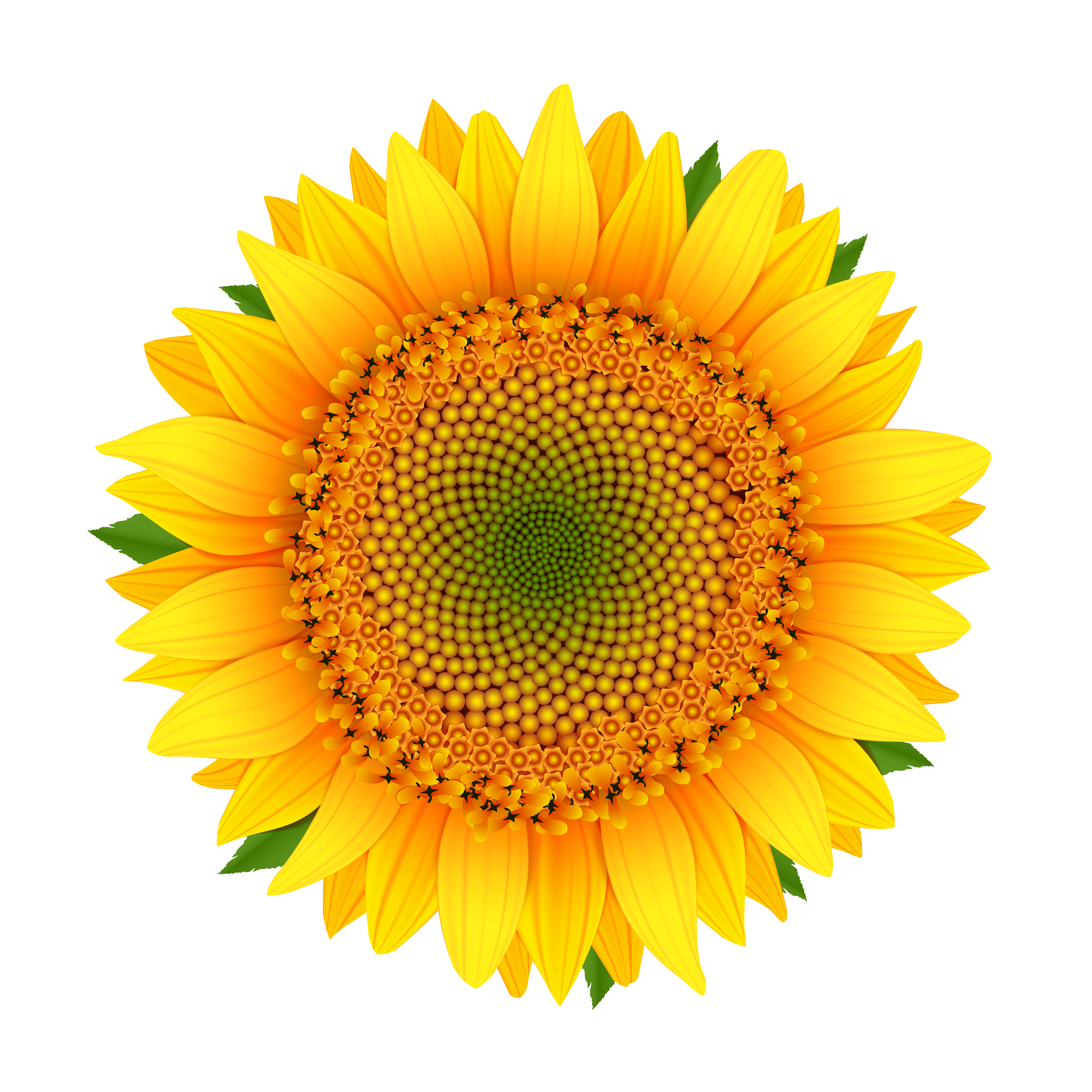 Sunflower isolated on white Vector - Download Free Vector ...