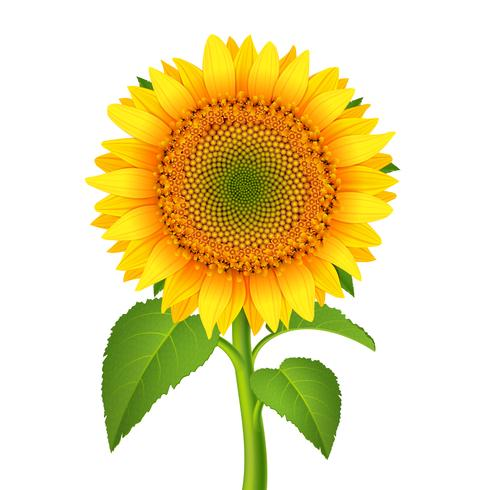 Sunflower with pedicle