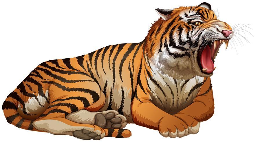 Tigre selvagem rugindo em fundo branco