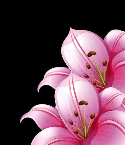 Rosa Lilienblumen auf schwarzem Hintergrund