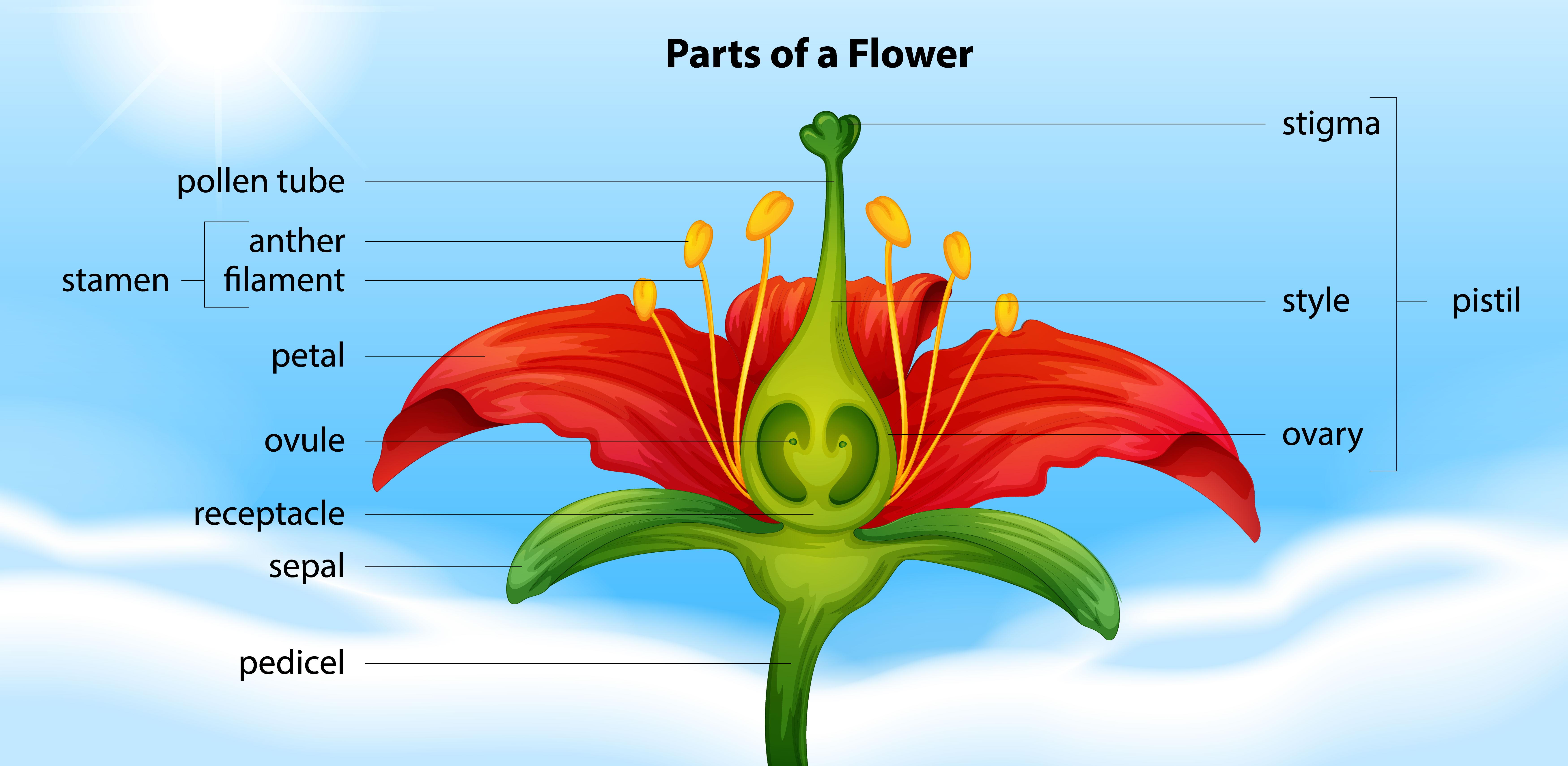 Parts of a flower - Download Free Vectors, Clipart ...