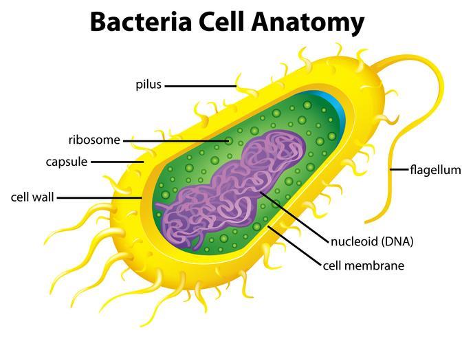 Estructura celular de las bacterias