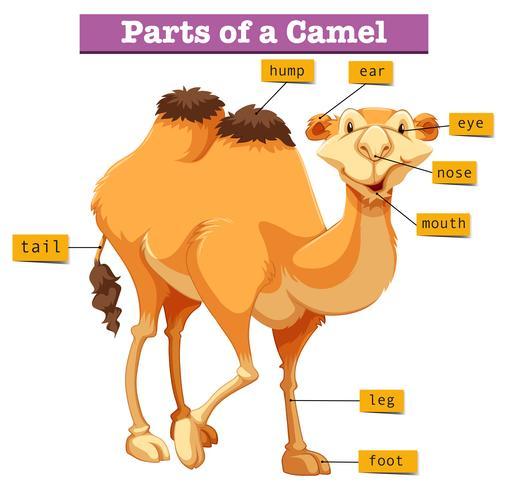 Diagrama que muestra partes de camello