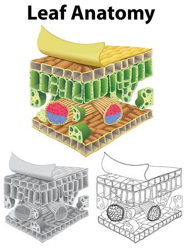 Diagram showing leaf anatomy in three sketches