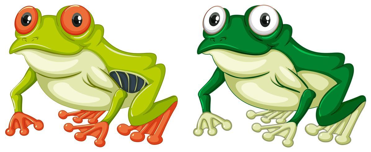 Deux grenouilles vertes sur fond blanc vecteur