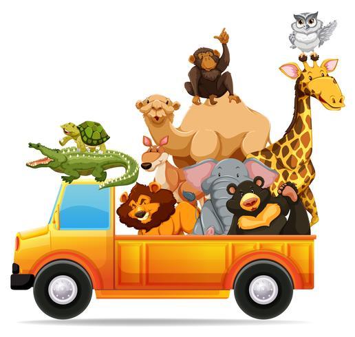 Wild animals on pick up truck