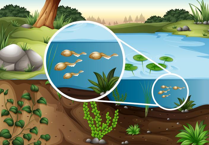 Kikkervisjes die in de vijver zwemmen