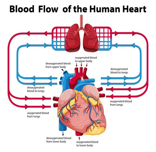 Diagram showing blood flow of human heart