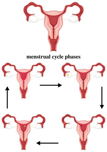 Fases del ciclo menstrual en humanos