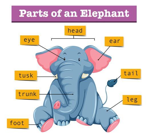 Diagrama que muestra partes de elefante