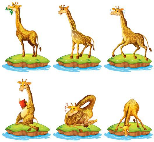 Giraffer i olika handlingar på ön