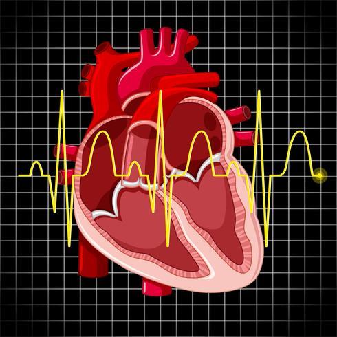 Menschliches Herz und Grafik zeigen Herzschläge