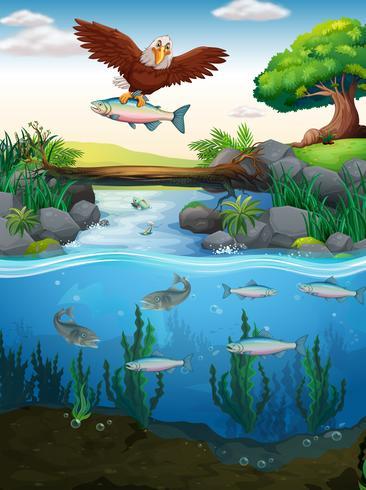 Águila atrapando peces en el río
