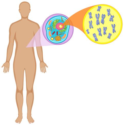 Human body and animal cell vector