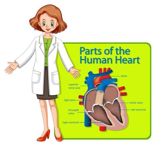Médico y cartel que muestra partes del corazón humano. vector
