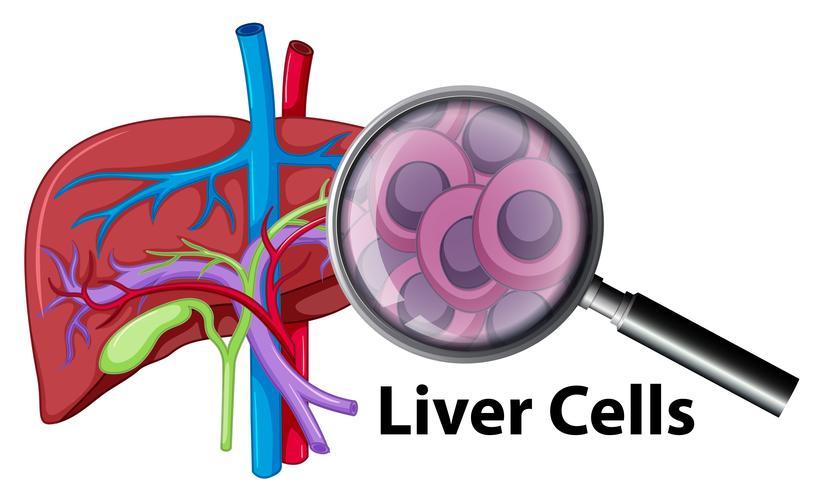 Un primo piano cellule del fegato umano vettore