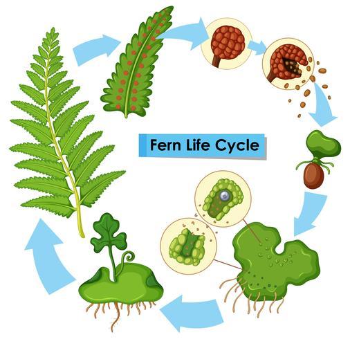 Diagramm, das den Lebenszyklus des Farns zeigt