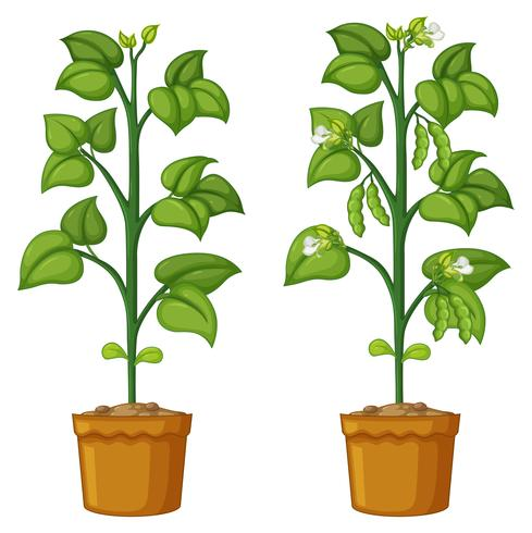 Dois vasos de plantas com feijão