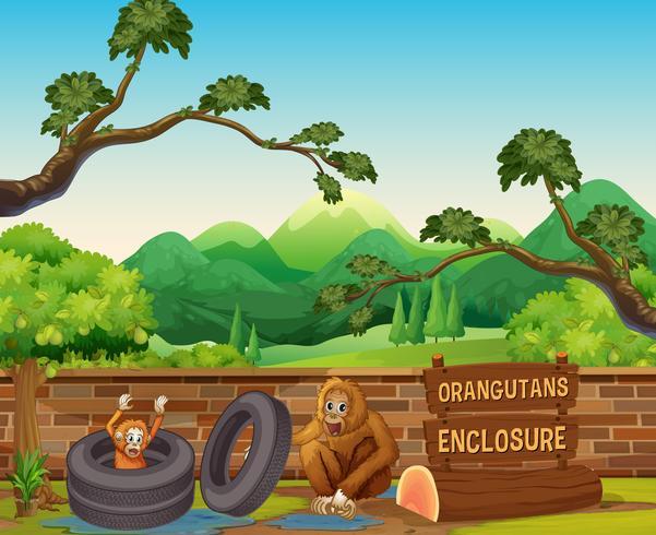 Dos orangutanes en el zoológico abierto.