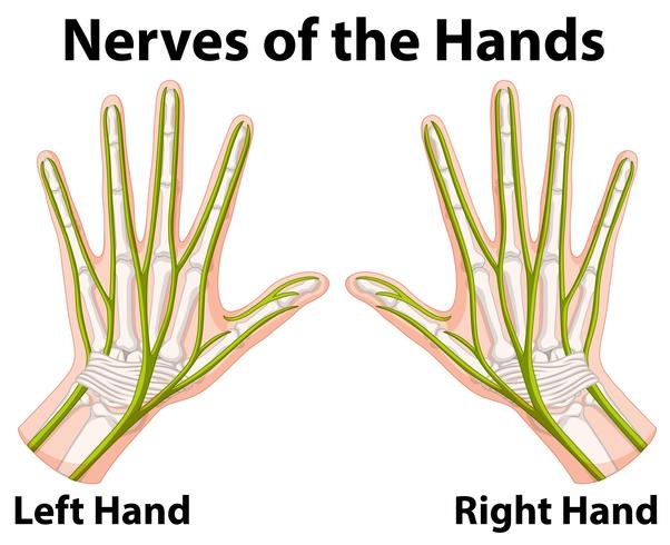 Diagram showing nerves of the hands