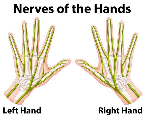 Diagramme montrant les nerfs des mains