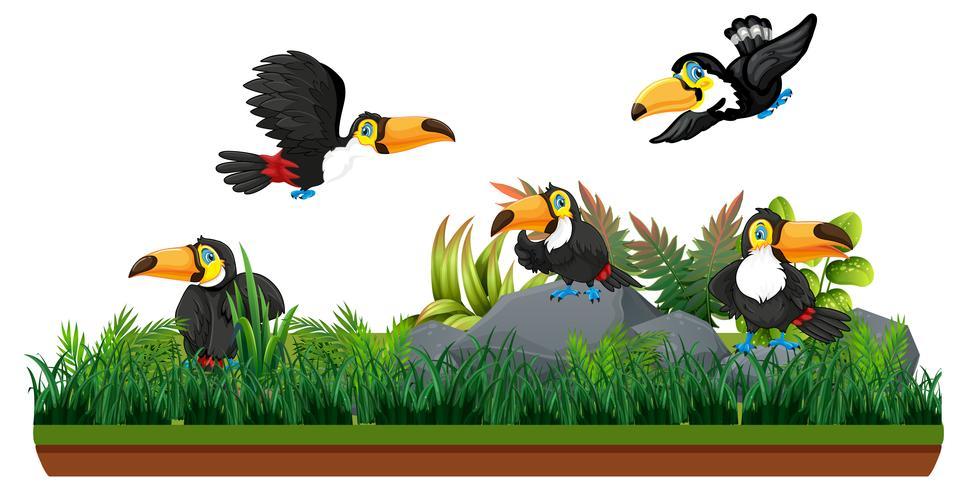 Toucan en nature isolée