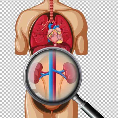 Riñón humano sano en el fondo transparente vector