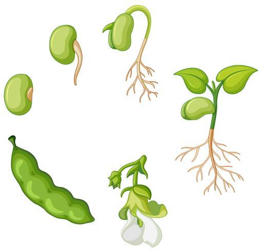 Ciclo di vita del fagiolo verde