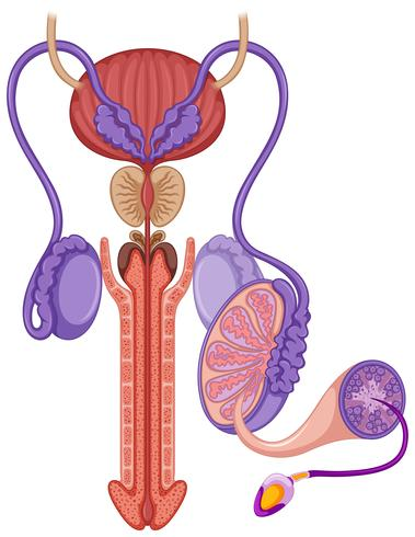 Reproductiesysteem bij man