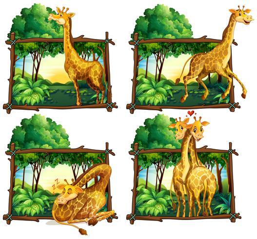 Cuatro escenas de jirafas en el bosque.