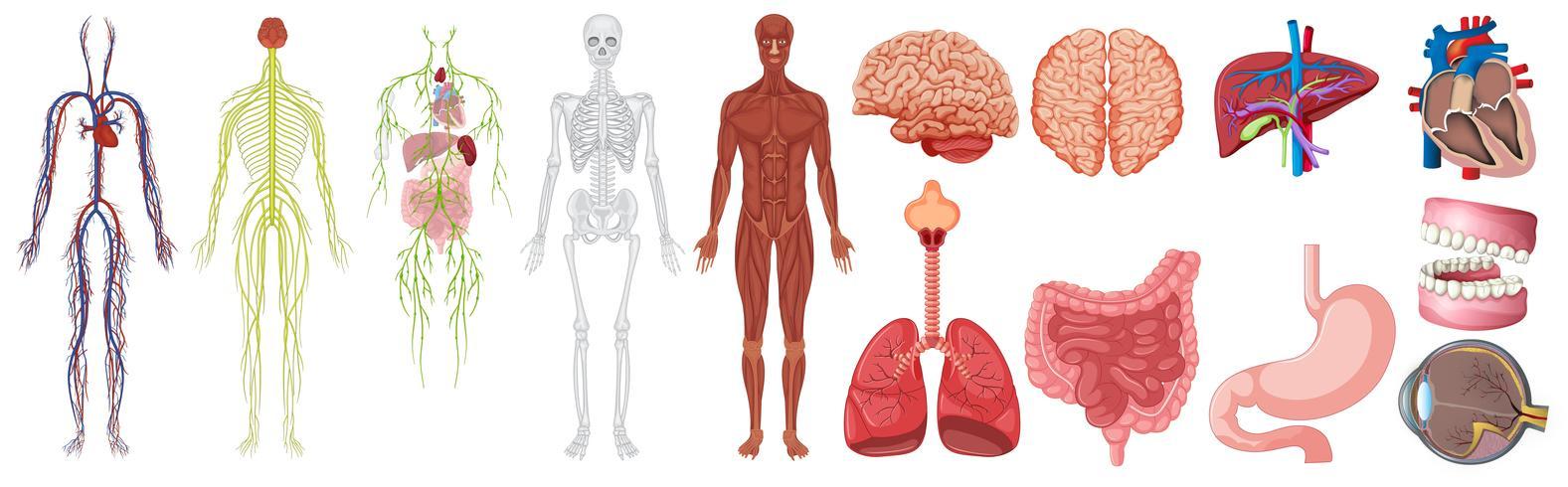 Conjunto de anatomía humana y sistemas. vector