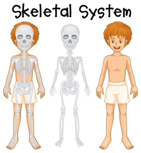 Skelettsystem i mänsklig pojke