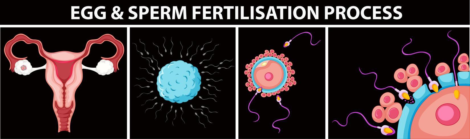Processo de fertilização de ovos e espermatozóides