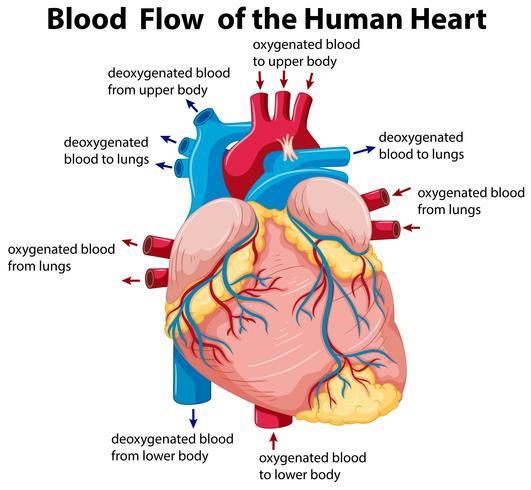 Diagramm, das den Blutfluss im menschlichen Herzen zeigt