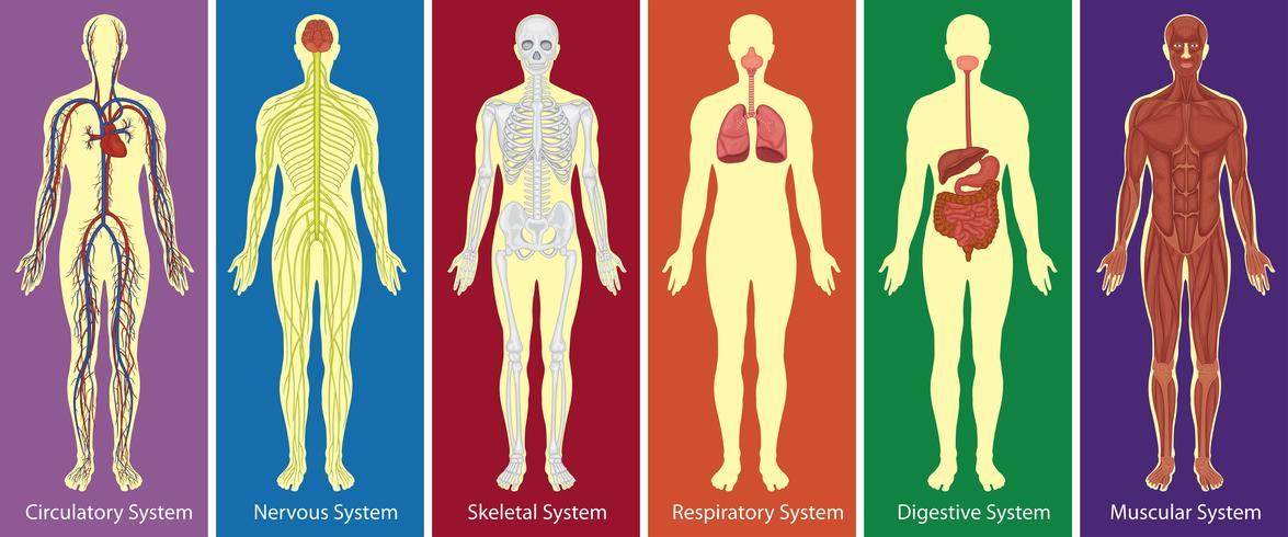 Différents systèmes de diagramme du corps humain