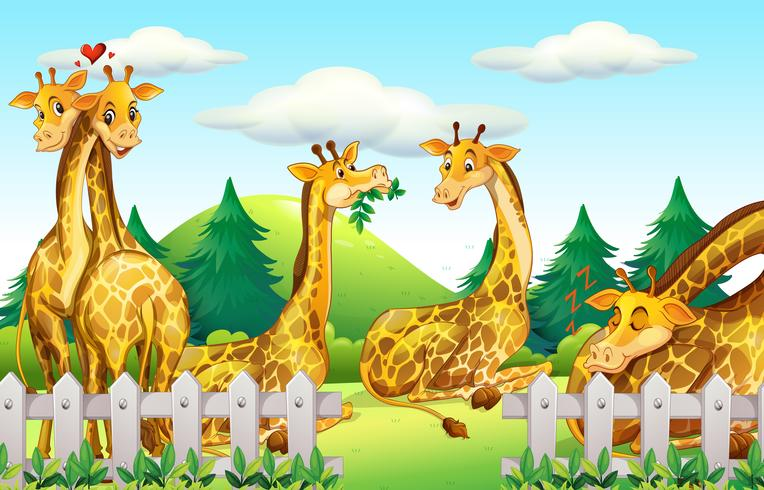 Giraffes in the safari