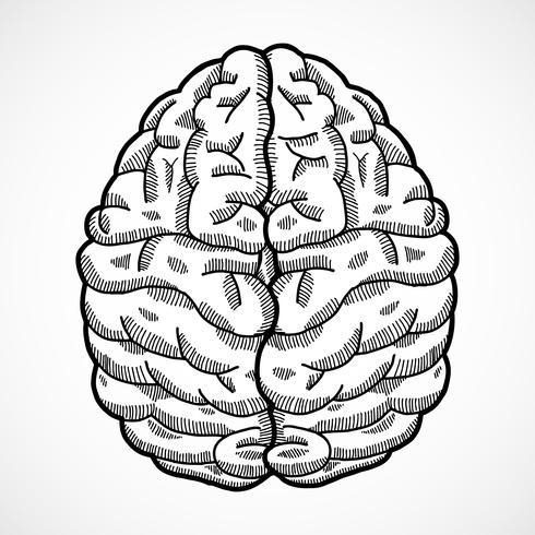 Human brain sketch vector