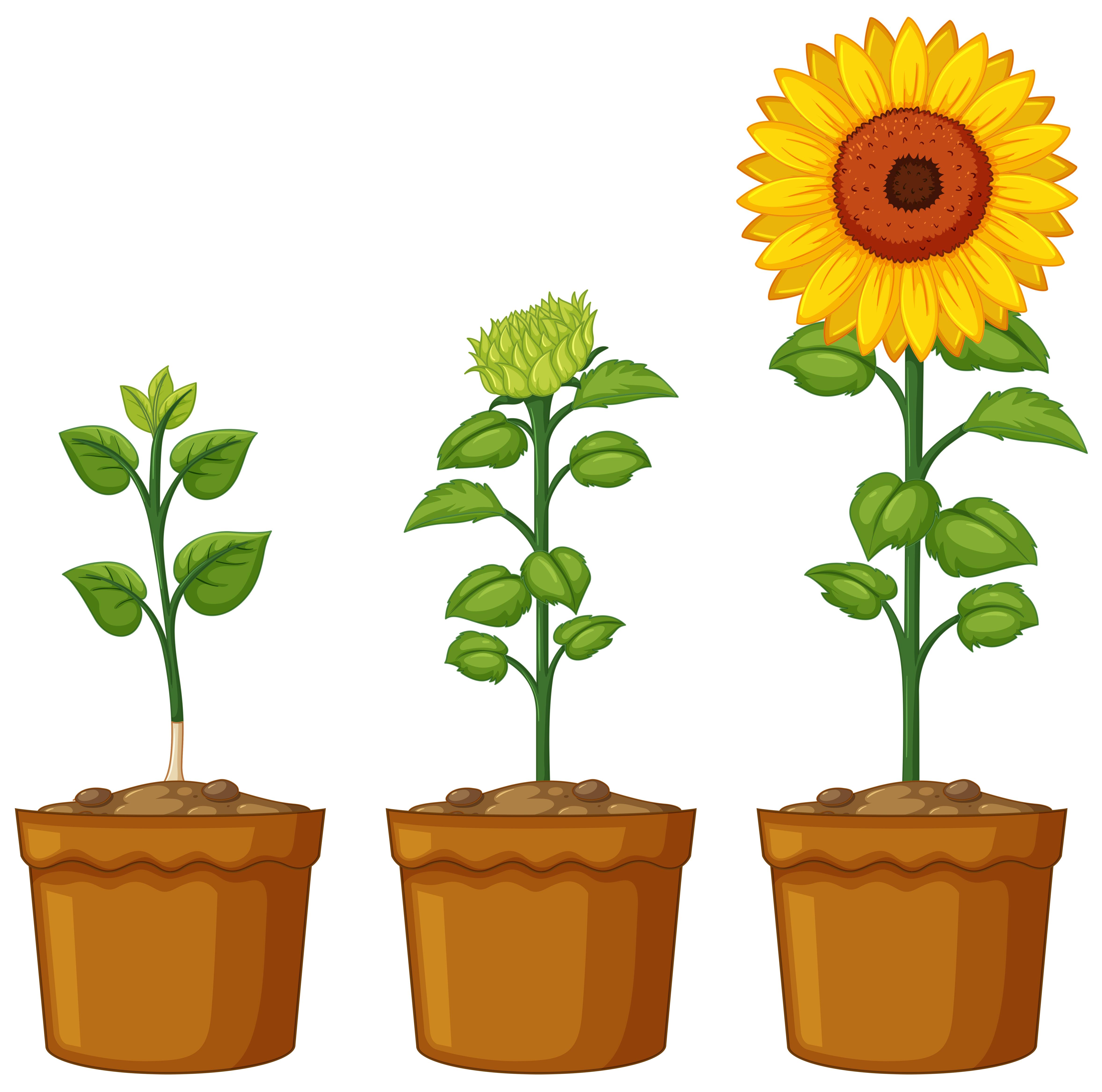 Three pots of sunflower plants - Download Free Vectors ...