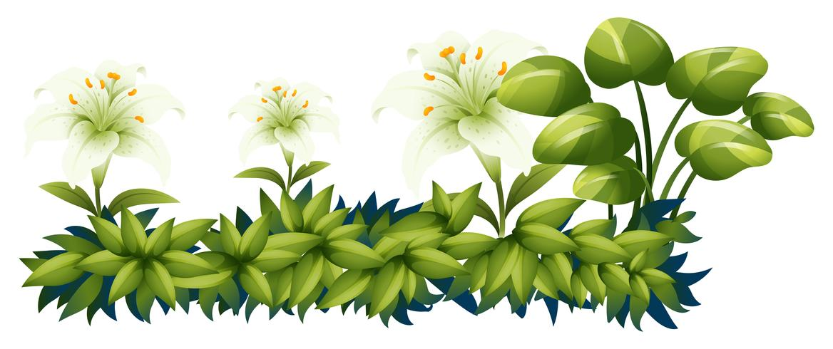 White lily flowers in green bush vector