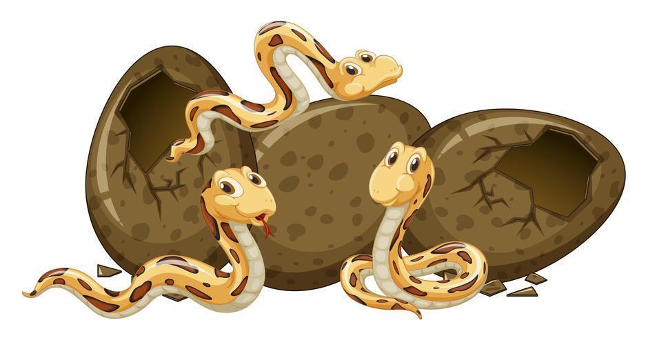 Tres serpientes bebé incubando huevos.