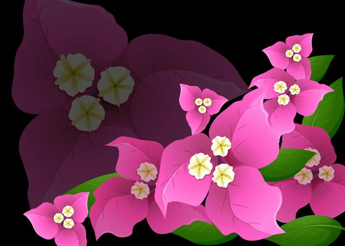 Roze bougainvilleabloemen op zwarte achtergrond