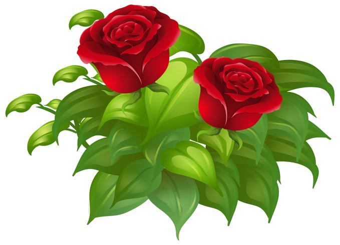 Dos rosas rojas y hojas verdes.