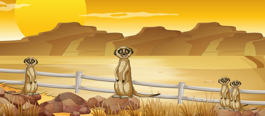 Meerkats står i öknen