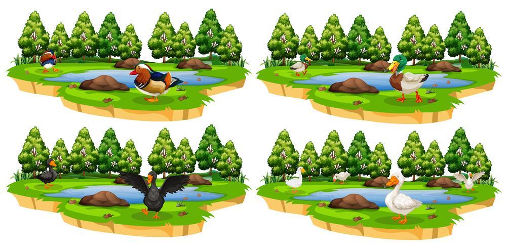 Set van verschillende eend parken