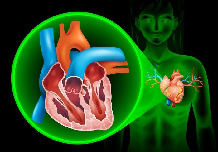 Diagrama de batimentos cardíacos em humanos
