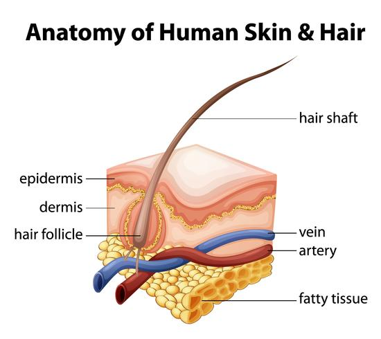 Anatomie de la peau et des cheveux humains