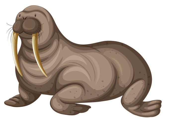 Walrus with sharp teeth