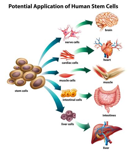 Stammzellenanwendung